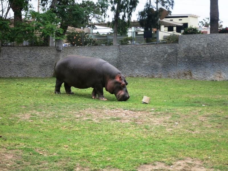 animals hippopotamus parque leyendas 133